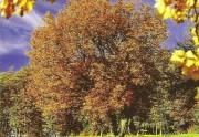 Die Elsbeere. Baum des Jahres 2012. Ausschnitt aus der Titelseite der Broschüre.