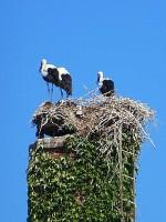 Storchenfamilie im südsteirischen Leibnitz. (Foto: Hedi Grager)